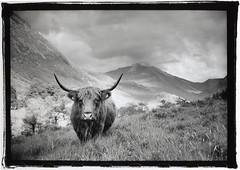 highland cow (Dan_wood) Tags: leica blackandwhite bw mountain mountains nature scotland cow fineart 35mmfilm bennevis handprint fortwilliam leicam6 highlandcow fineartprint scottishlandscape darkroomprint