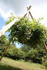 hanging tomato 3
