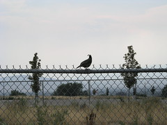 Quail king on fence