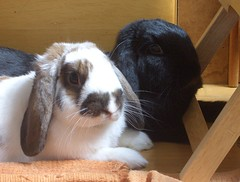 Couple (Romy87) Tags: cute rabbit bunny mochi kaninchen hasen