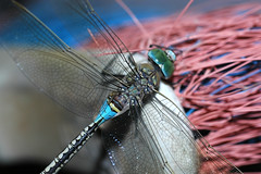 Dragonfly #3 (David Lev) Tags: dragonfly insects peopleschoice naturesfinest anax nirim mywinner worldbest parthenope specinsect 1on1allbugs excellentphotographerawards onlythebestare thatsclassy mybackveranda themacrogroup macromarvels