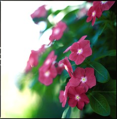 Take a flower ((davide)) Tags: sardegna flowers 120 6x6 film mediumformat sardinia kodak bokeh slidefilm hasselblad ektachrome davide e100vs cagliari diapositiva planar 500cm carlzeiss 80mmf28 canoscan8600f dcassaa