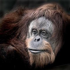 Orang Utan (iPhotograph) Tags: animal wow geotagged zoo monkey stuttgart orangutan ape d200 animalplanet wilhelma naturesfinest 70200mmf28gvr sumatranorangutan pongoabelii draganizer specanimal animalkingdomelite akprimates geo:lat=4880720006875899 geo:lon=92067773926643