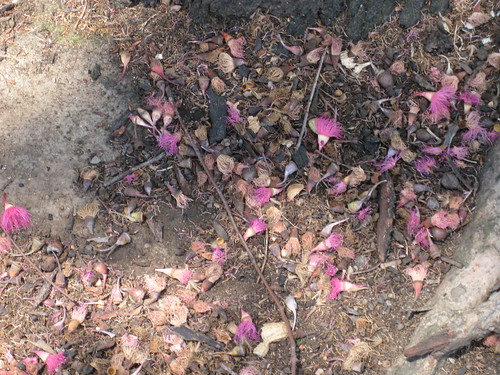 Eucalyptus blooms on ground