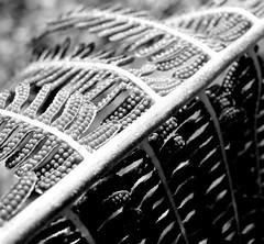 """Etudes de Cyatheales"" (YAZMDG (15,000 images)) Tags: fern leaf frond nsw yaz dicksonia rainbowregion cyatheales goonengerry nswrfp yazminamicheledegaye northernriversspecies yazmdg"