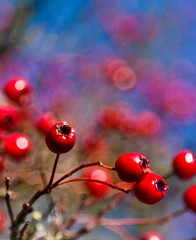 Rosehips (juliereynoldsphotography) Tags: autumn trees leaves