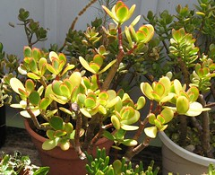 Hummel Sunset Jade Plant