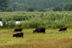 Heckrunderen (Werner Wattenbergh) Tags: belgique belgie schelde rupel natuurgebied 400d eos400d heckrunderen noordelijkeiland