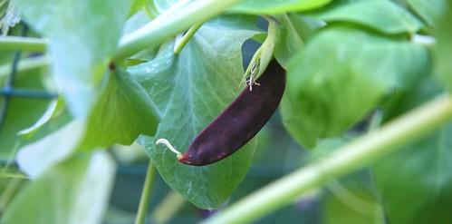 purple pea