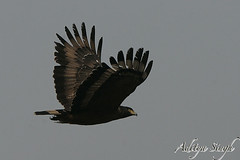 Flying Crested Serpent eagle (dickysingh) Tags: wild india nature outdoor wildlife raptor aditya corbett singh dicky tigerreserve ranthambhorebagh flyingcrestedserpenteagle flyingeagleeaglebirdofprey adityasingh dickysingh ranthamborebagh theranthambhorebagh