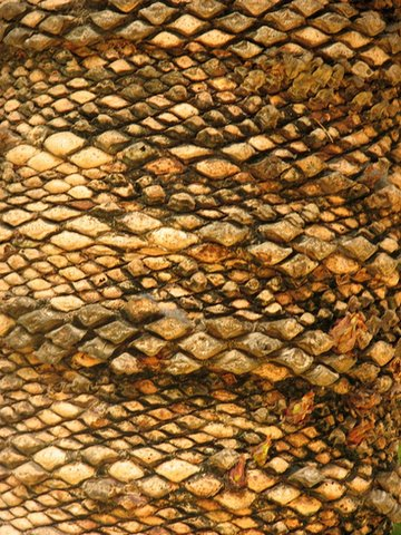 Trunk pattens on Cycad, lalbagh 080707