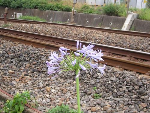 線路端で轟音を聞き続ける花。でも、美しく咲いているのね