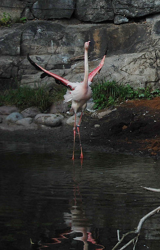 Flamingo at Skansen