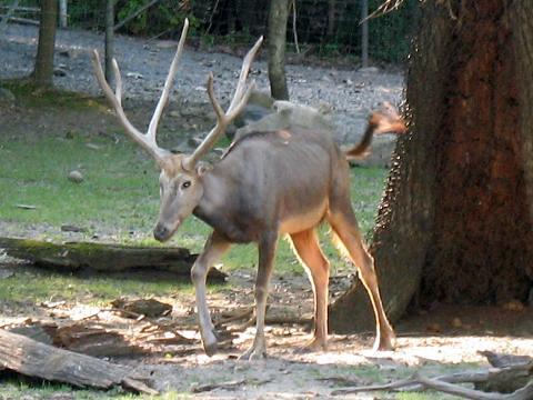 free downloading pics of pere deers habitat