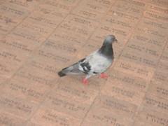 Pigeon on bricks_3154 (hoyasmeg) Tags: park city atlanta bird ga georgia outside outdoors centennial downtown pigeon south bricks recreation olympic centennialpark centennialolympicpark 3264x2448 hoyasmeg