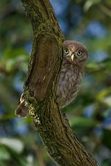 Adelr_20070707_318-Edit (reneadelerhof) Tags: bird eyes owl littleowl zuidbroek atheneathene