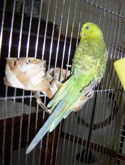 buttercup02 (PhotoPieces) Tags: bird budgie parakeet ilovebirds