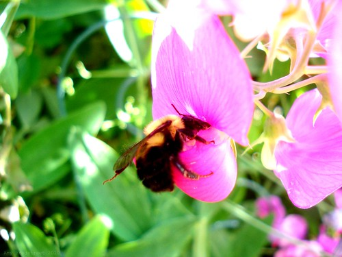 bee and sweet pea