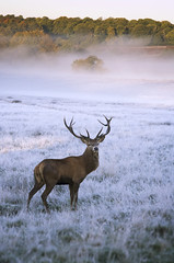 25thOct10_Commute (I3aac) Tags: park morning mist london canon october frost stag ride meadow richmond deer m45 cycle commute 5d 135mm chinon goldseal qualitygold