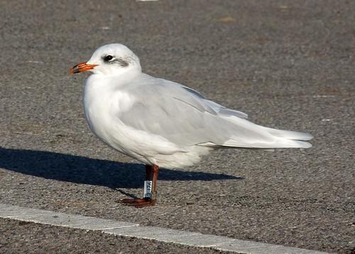 23637 - Mediterranean Gull, Radipole Lake