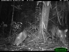 Collared Peccary (siwild) Tags: pigs collaredpeccary bci pecaritajacu taxonomy:common=collaredpeccary taxonomy:group=pigs sequence:index=97 siwild:study=fruitingpalmtrees siwild:studyId=panapalm siwild:plot=25 file:name=img2766jpg taxonomy:species=pecaritajacu siwild:Rank=0 geo:locality=panama sequence:length=140 sequence:id=36126 siwild:location=1879 siwild:camDeploy=1356 siwild:date=200908110400000 siwild:trigger=76847 siwild:imageid=752198 file:path=dpicsrunsattamammalsvplot2c2cimg2766jpg siwild:species=22 siwild:region=panama sequence:key=70 geo:lon=9158202 geo:lat=79845399 BR:batch=sla0620110103051639