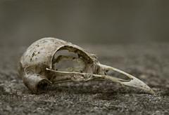 (T. Scott Carlisle) Tags: bird skull tsc d80 105mmf28gvrmicro tphotographic tphotographiccom tscarlisle tscottcarlisle