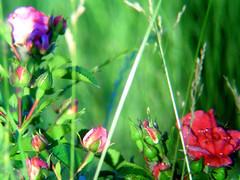 Rose glade (ego_generation) Tags: pink flowers plant flower planta fleur rose plante garden blossom flor pflanze jardin rosa blume fiore garten vegetal giardino rosal pianta rosier obstgarten blute rosenstock rosenstrauch gewachs