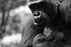 Shindy and her gorilla baby Shomari - by .m for matthijs