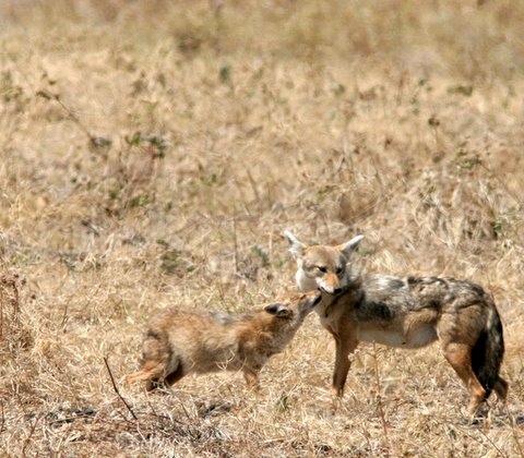 Mother Golden Jackal and Cub