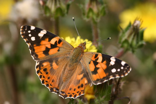 Painted Lady Butterfly Basking in the Sun