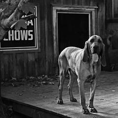 the Resident Beast (0zzie) Tags: blackandwhite bw dogs bbw bn mostinteresting zack ozzie piratetreasure 123bw 25faves portfolio10 0zzie justdogs feltlife zackjennings piratetreasure2 piratetreasure3 9832residentbeast9aug07 bw1day