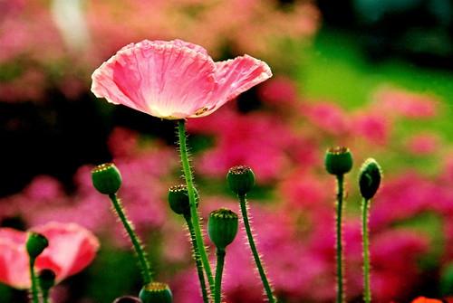 pink poppy...