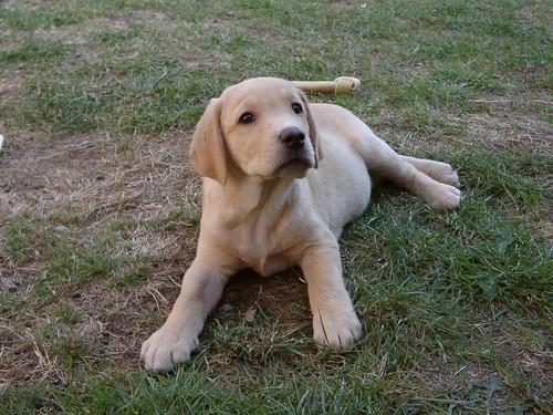 Golden Labrador Puppy (2)
