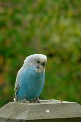 Budgie, perching