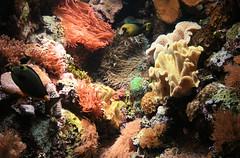 IMG_9313 (__randy__) Tags: fish chicago water colors animal rock fauna aquarium underwater anemone shedd seaanemone sheddaquarium