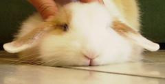 (Rudi and Milo) Tags: macro rabbit bunny closeup female dwarf conejo explore rudi lapin kaninchen coniglio lop ariete