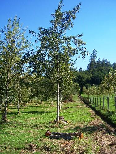 Plantación Ameneiro