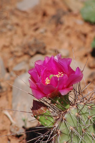 One Prickly Pear Blossom with friend