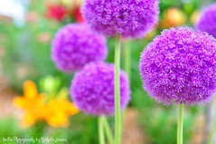 Nature's lollipops {Explored} (oneworldmj) Tags: summer flower green garden lily purple explore ornament allium lollipops pompoms