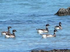 P1360007 Brant Geese jun 20 (armadil) Tags: mavericks beaches californiabeaches birds waterfowl waterbirds brantgeese geese juggle062010
