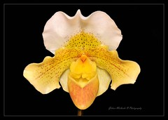 Paph Freckles Corkey (-Giep-) Tags: flowers macro orchids tropical stacking photostacking nikond300 nikkor105mmvr28