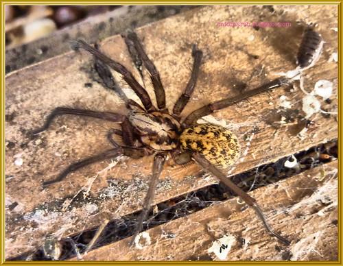 Garden Spider 1a