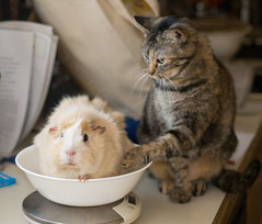 Touch! (debunix) Tags: cat guinea pig cavy george emily