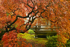 Another Japanese Lace Leaf Maple Tree at Portland Japanese Garden in the Fall (David Gn Photography) Tags: autumn red mist oregon portland landscape japanesegarden moss rocks raw tranquility veranda zen trunk pavilion pdx portlandjapanesegarden mapletrees foggymorning laceleaf fallseason publicparks canoneos7d sigma2470mmf28ifexdghsm sigma50th