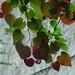Redbud leaves