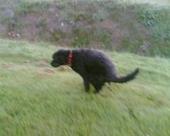 Kopie van Tommy cagando (Amigrante Nnimo) Tags: dog chien cane fur hond tommy perro hund pelo badbreath peludo elmejoramigodelhombre malaliento muchopelo elmejoramigodestehombre