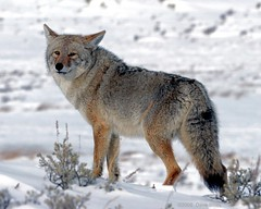 Coyote - Yellowstone (Dave Stiles) Tags: coyote wildlife explore yellowstonenationalpark stiles canislatrans specanimal specanimalphotooftheday platinumphoto yellowstonewildlife truewildlifeimages empyreananimals naturewatcher natureoutpost theperfectphotographer bestofanimals wintercoyote