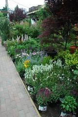 Perennials for Sun, Chelsea Garden Center