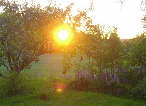the sun is a lantern in my apple tree