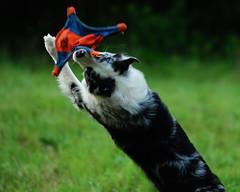 Aerial Acrobatics (Miracle Man) Tags: dog pet pets animal ada nikon action d200 flickrstock miracleman robmiracle oldtimesummerbonfire rsgmeetup20070714 flickrstock0707